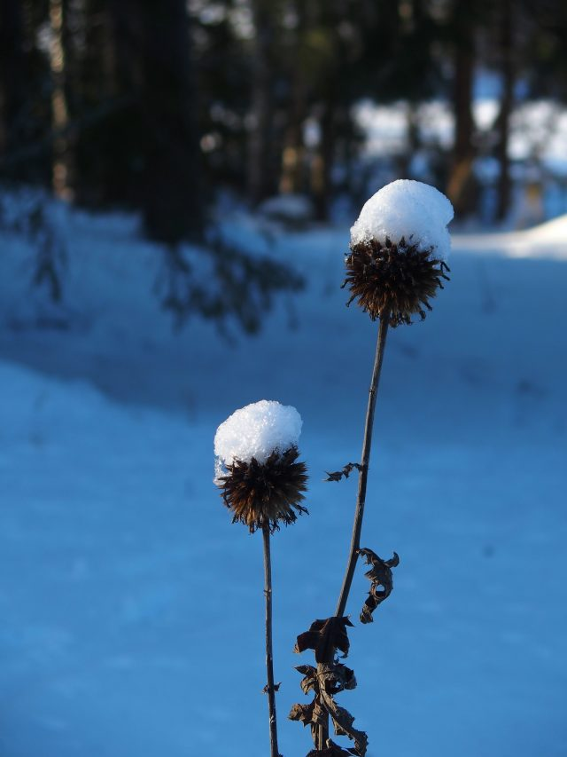 kuihtunut koristetakiainen lumen peitossa