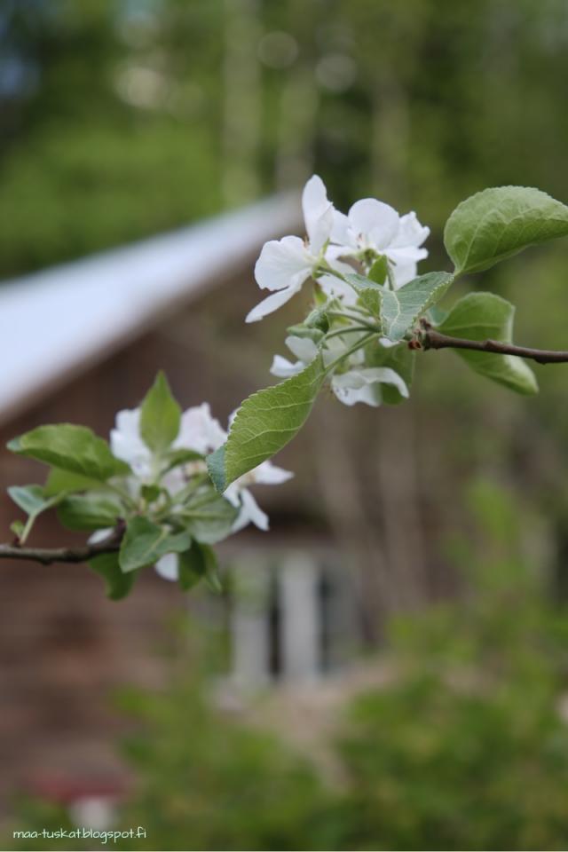 omenapuu kukassa taustalla navetta