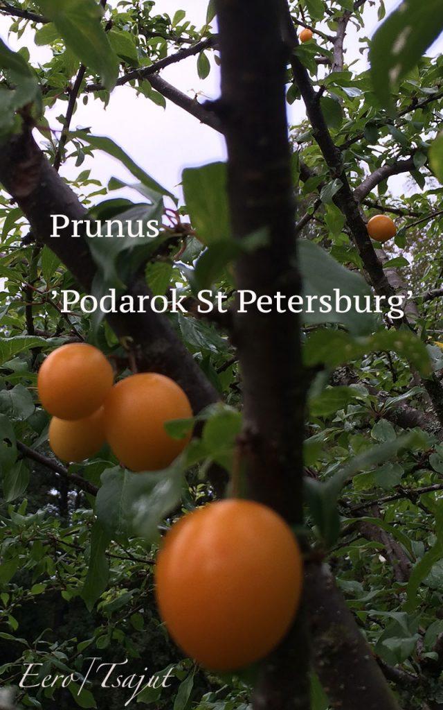 Podarok-luumulla on keltaiset hedelmät