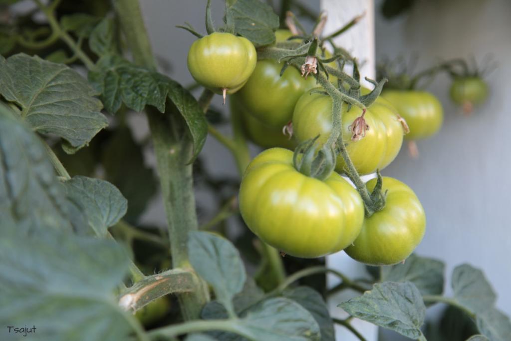 vihreita tomaatteja