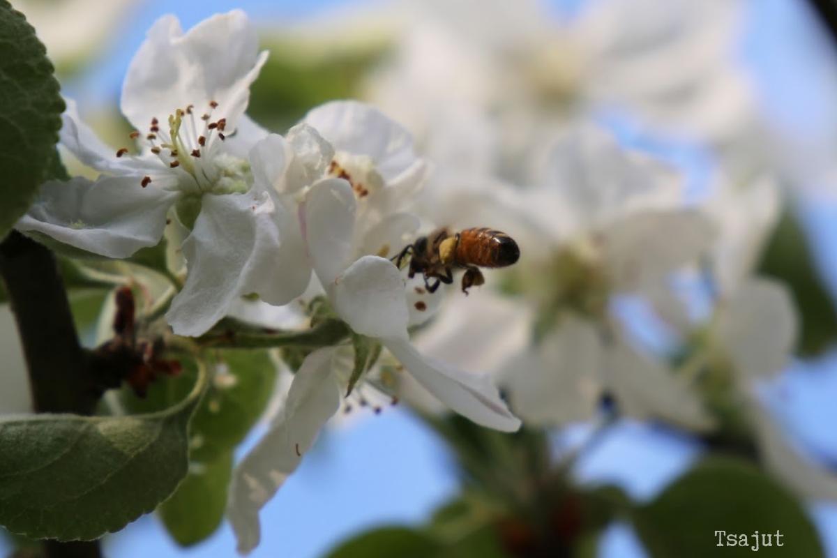 mehilainen omenankukassa