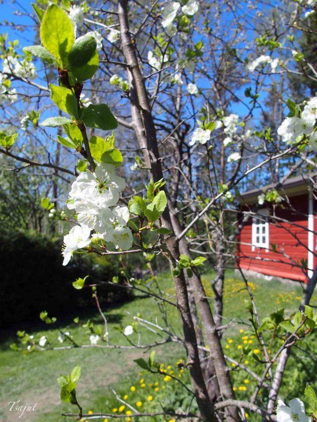 Punainen tupa ja kukkiva luumupuu