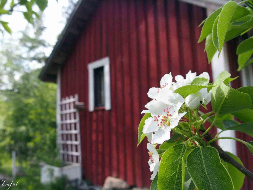 Punainen tupa ja päärynän kukka