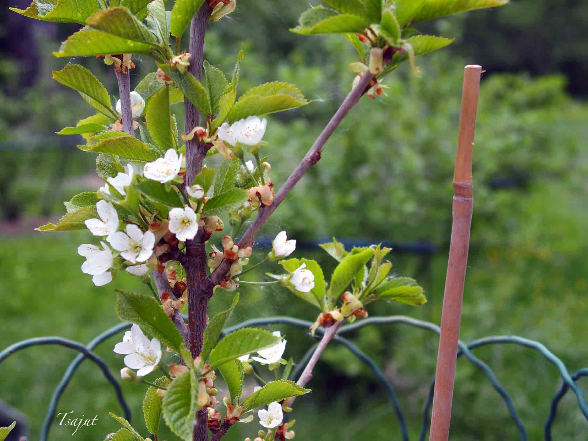 Allmän Gulröd Bigarrå kirsikka