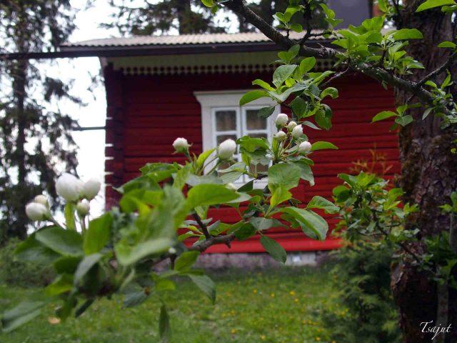 Punainen tupa ja omenapuun nuput