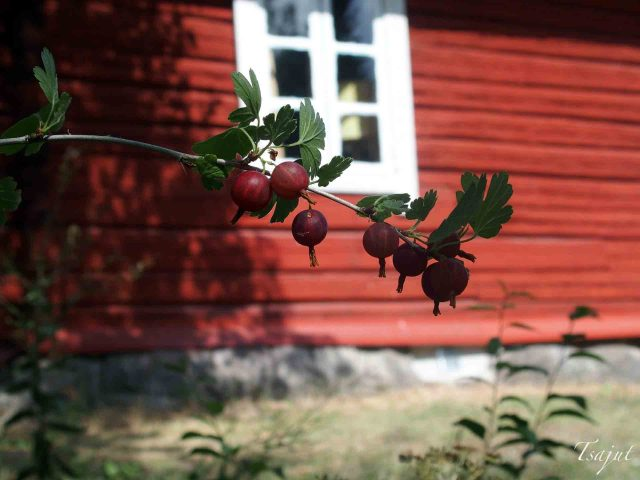 punaiset karviaisen marjat ja punainen tupa