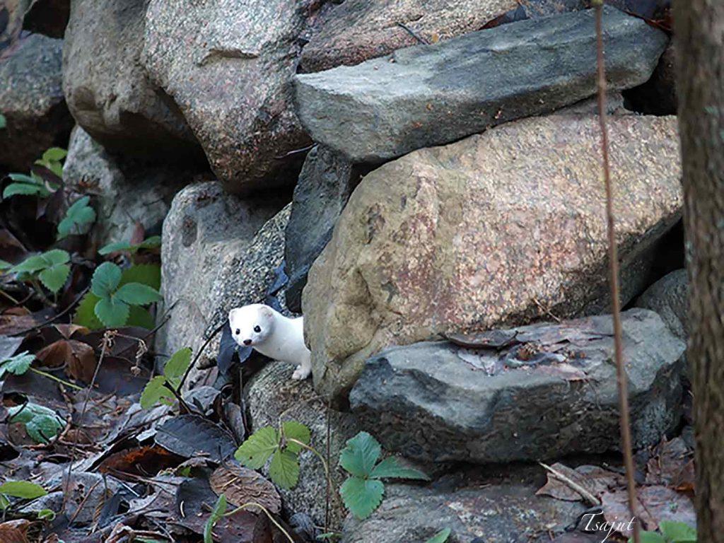 lumikko kurkistaa kiviaidan kolosta