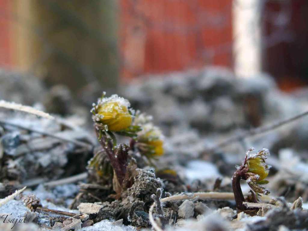 Talventähti nousee routaisesta maasta