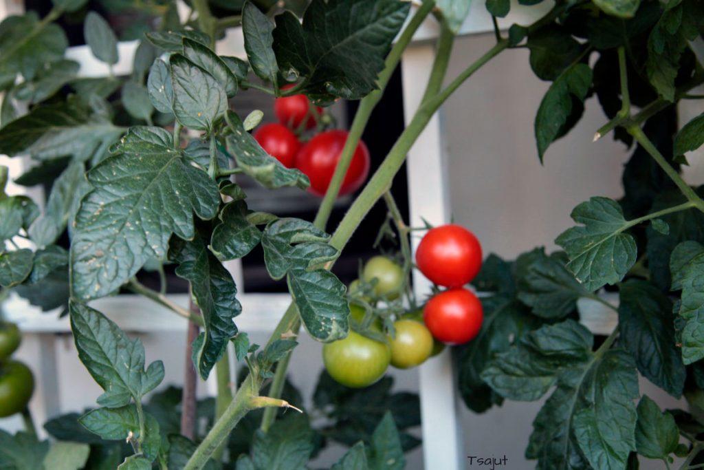 kypsiä ja raakoja tomaatteja